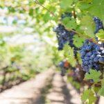 Noi fonduri europene pentru viticultori